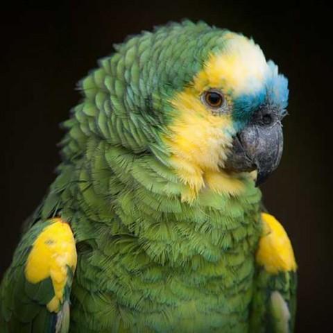 Amazonas de Frente Azul en Pajarería Villena